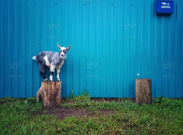 Colorful Goat Fence