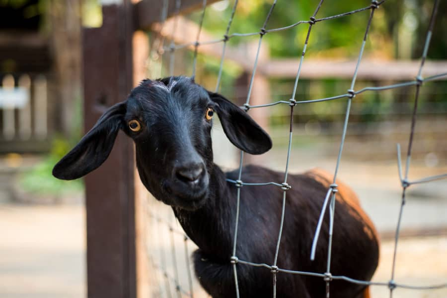 Large Square Wire Goat Fence
