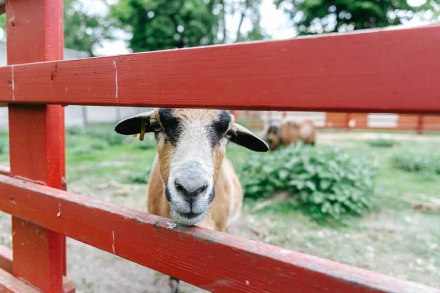 Red Slat Goat Fence