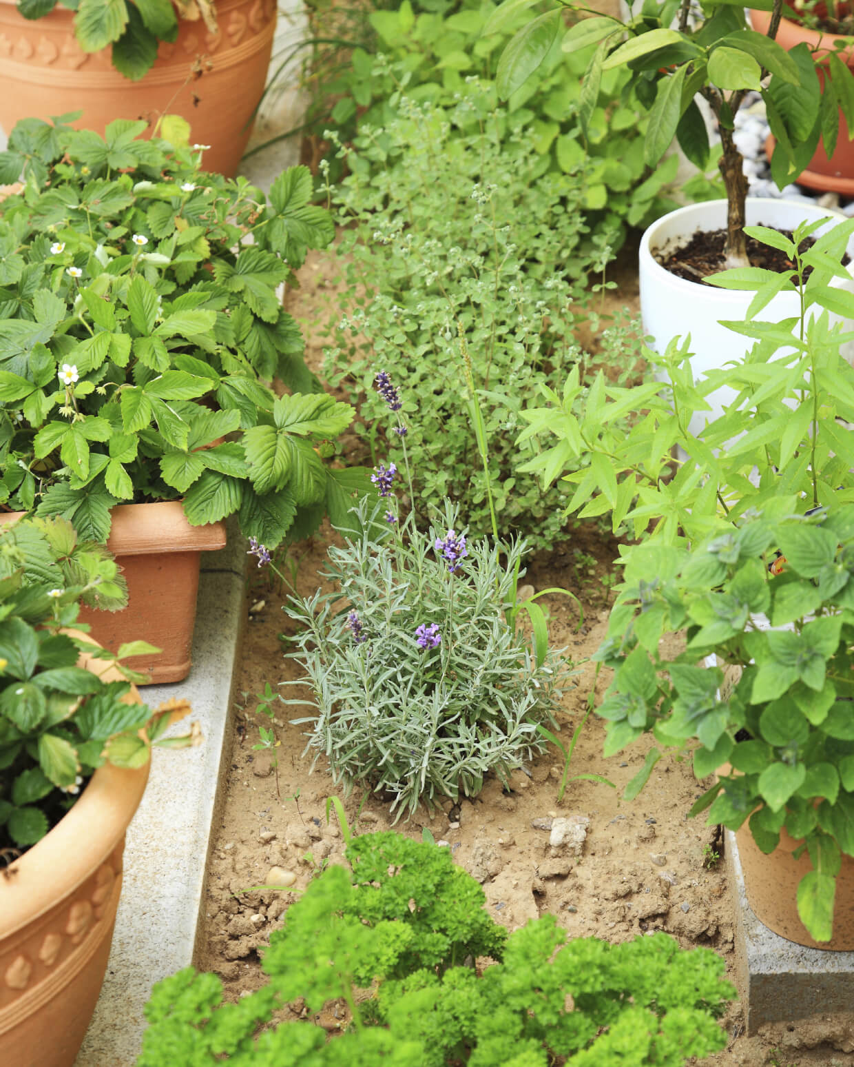Grow Fragrant Herbs